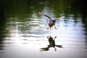 Flying duck 16.09.2015 17-31-053